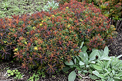 Bonfire Cushion Spurge (Euphorbia polychroma 'Bonfire') at Ritchie Feed & Seed Inc.