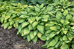 Paul's Glory Hosta (Hosta 'Paul's Glory') at Ritchie Feed & Seed Inc.