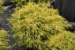 Golden Charm Falsecypress (Chamaecyparis pisifera 'Golden Charm') at Ritchie Feed & Seed Inc.