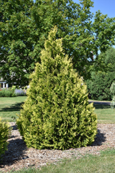 Yellow Ribbon Arborvitae (Thuja occidentalis 'Yellow Ribbon') at Ritchie Feed & Seed Inc.