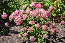 Invincibelle® Ruby Smooth Hydrangea (Hydrangea arborescens 'NCHA3') at Ritchie Feed & Seed Inc.