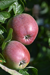Spartan Apple (Malus 'Spartan') at Ritchie Feed & Seed Inc.
