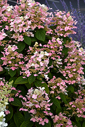 Quick Fire® Hydrangea (Hydrangea paniculata 'Bulk') at Ritchie Feed & Seed Inc.