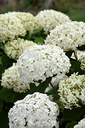 Invincibelle® Wee White Hydrangea (Hydrangea arborescens 'NCHA5') at Ritchie Feed & Seed Inc.