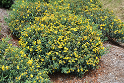 Blues Festival® St. John's Wort (Hypericum kalmianum 'SMHKBF') at Ritchie Feed & Seed Inc.