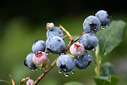 Blueray Blueberry (Vaccinium corymbosum 'Blueray') at Ritchie Feed & Seed Inc.