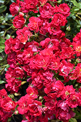 Red Drift® Rose (Rosa 'Meigalpio') at Ritchie Feed & Seed Inc.