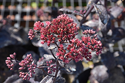 Knighty Rider Stonecrop (Sedum 'Knight Rider') at Ritchie Feed & Seed Inc.
