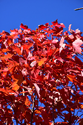 October Glory Red Maple (Acer rubrum 'October Glory') at Ritchie Feed & Seed Inc.
