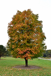 Sugar Maple (Acer saccharum) at Ritchie Feed & Seed Inc.