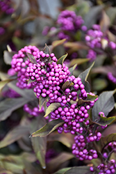 Pearl Glam® Beautyberry (Callicarpa 'NCCX2') at Ritchie Feed & Seed Inc.