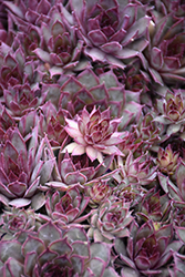 Red Beauty Hens And Chicks (Sempervivum 'Red Beauty') at Ritchie Feed & Seed Inc.