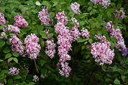 Superba Littleleaf Lilac (Syringa microphylla 'Superba') at Ritchie Feed & Seed Inc.