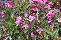 Fine Wine® Weigela (Weigela florida 'Bramwell') at Ritchie Feed & Seed Inc.