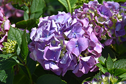 L.A. Dreamin'® Hydrangea (Hydrangea macrophylla 'Lindsey Anne') at Ritchie Feed & Seed Inc.