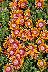Fire Spinner Ice Plant (Delosperma 'Fire Spinner') at Ritchie Feed & Seed Inc.