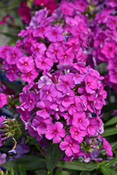 Purple Flame Garden Phlox (Phlox paniculata 'Purple Flame') at Ritchie Feed & Seed Inc.