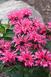 Cranberry Lace Beebalm (Monarda 'Cranberry Lace') at Ritchie Feed & Seed Inc.