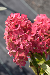 Fire Light® Hydrangea (Hydrangea paniculata 'SMHPFL') at Ritchie Feed & Seed Inc.