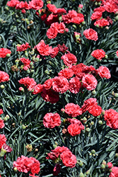 Early Bird™ Chili Pinks (Dianthus 'Wp10 Sab06') at Ritchie Feed & Seed Inc.