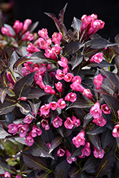 Spilled Wine® Weigela (Weigela florida 'Bokraspiwi') at Ritchie Feed & Seed Inc.
